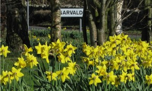 Daffodils by Barrie Ash
